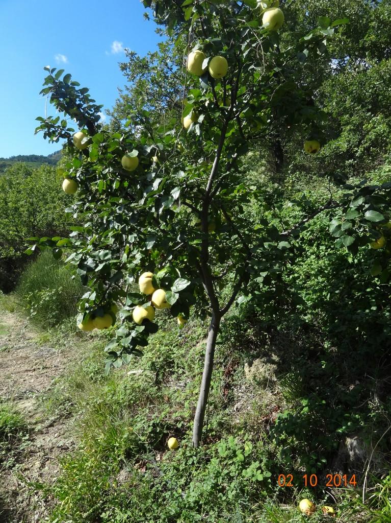 Cognassier Aromatnaya ou Krymsk (cydonia oblonga variété aromatnaya) pépinière du bosc - Septembre 2014