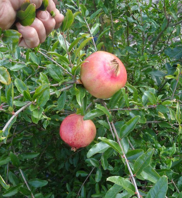 Grenade FLEISHMAN - punica granatum variété fleishman - pépinière du bosc
