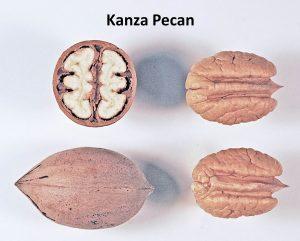 Kanza - carya illinoensis - pépinière du bosc