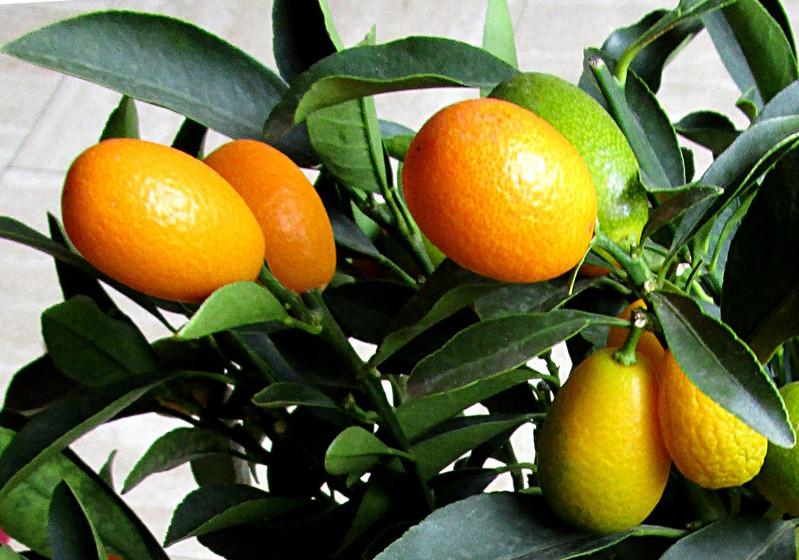 Kumquat pépinière du bosc