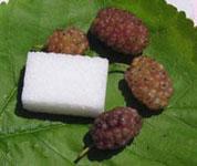 Murier-blanc-Aureifolia