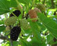 Murier-noir-Wellington-Mulberry - Pépinière du Bosc