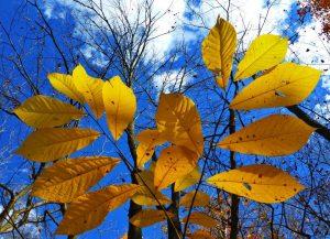 asimina-feuilles-asiminier-automne-pepiniere-du-bosc