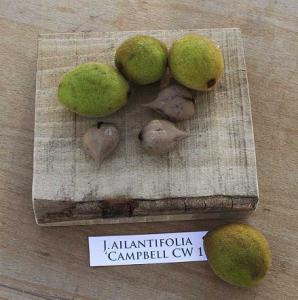 campbell cw 4 - juglans ailantifolia - pépinière du bosc