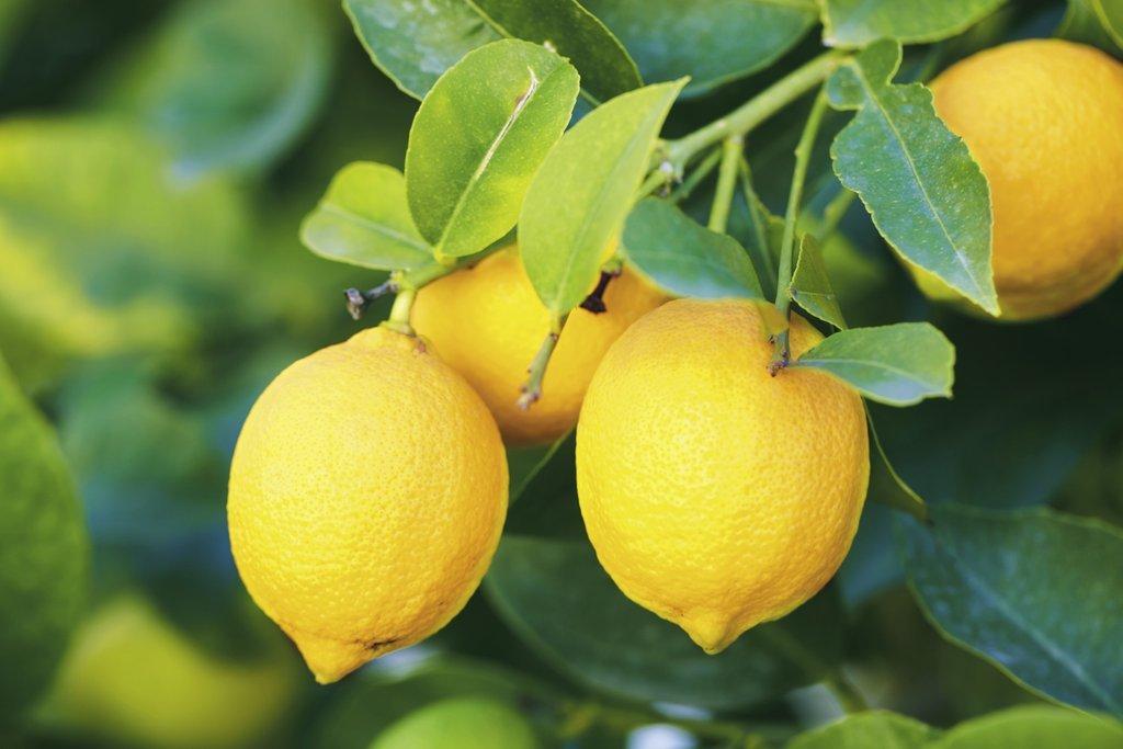 citron de pézenas - citrus - pépinière du bosc - citronnier de pézenas