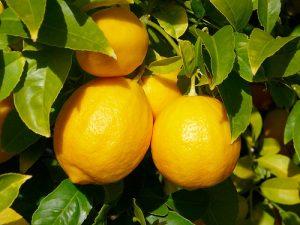 citronnier-meyer-citrus-meyeri-fruit-citron-pepiniere-du-bosc