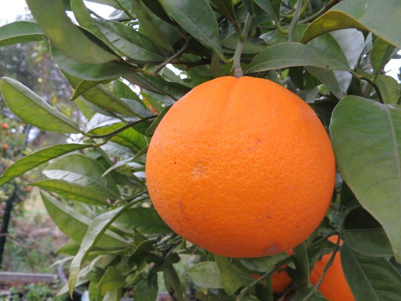 citrus sinensis caracara - oranger navel cara cara - pépinière du bosc 4