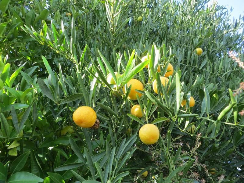 eremorange - eremocitrus glauca x citrus sinensis - pépinière du bosc 2