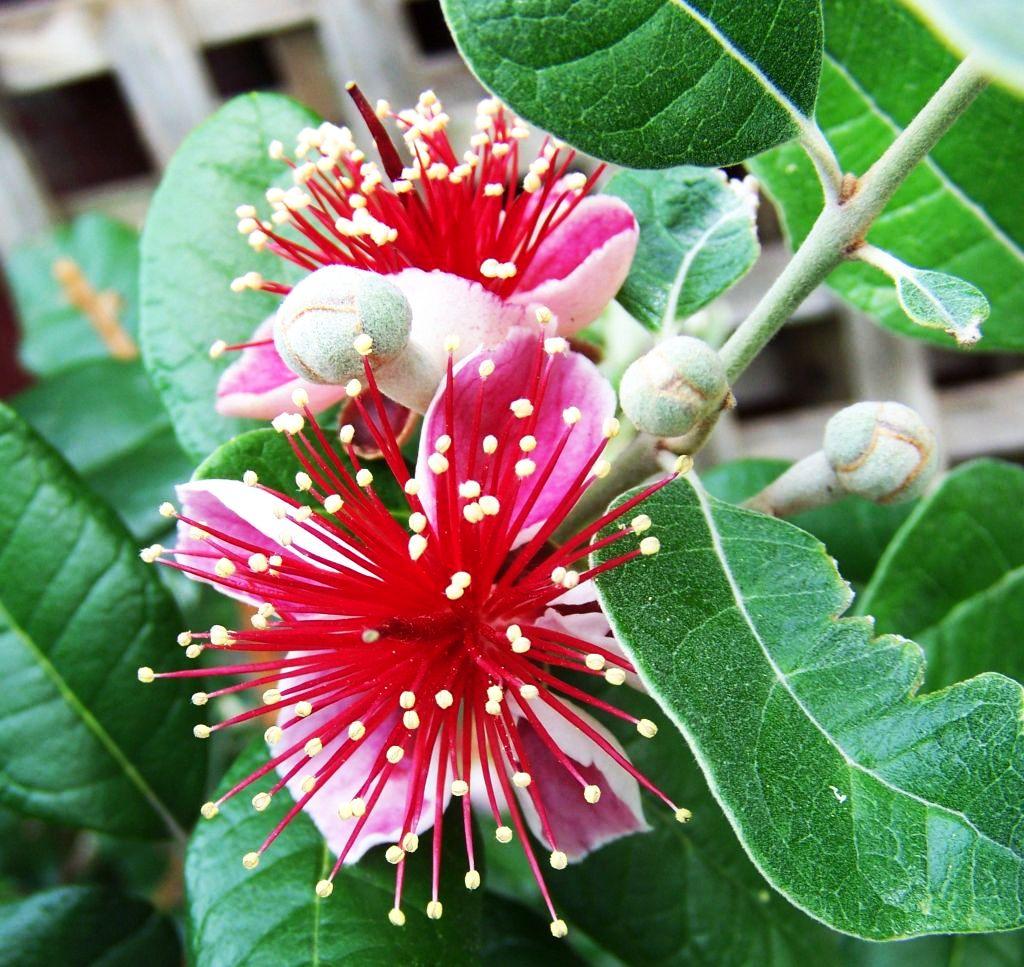 feijoa fleur - acca sellowiana - pépinière du bosc