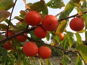 fruit kaki - plaqueminier ( diospyros kaki) Conservatoire National du Kakis agrée CCVS