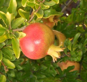 grenadier HICAZ - punica granatum - pépinière du bosc