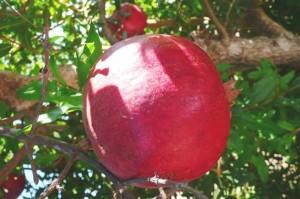 grenadier PARFIANCA - punica granatum - pépinière du bosc