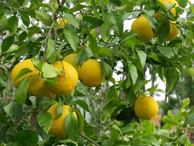 ichang lemon shanguyan - pépinière du bosc 4