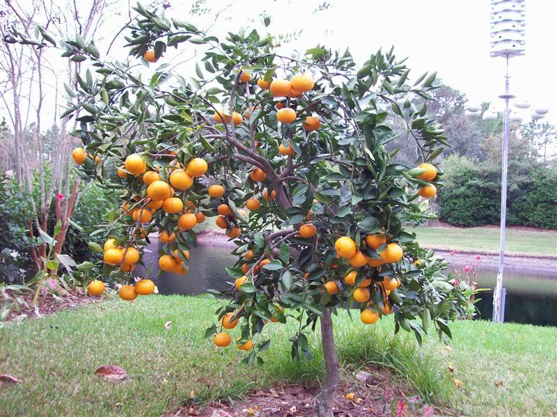 mandarinier OWARI - satsuma unshiu owari - pépinière du bosc