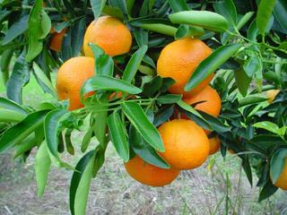 mandarinier satsuma OKITSU - Pépinière du Bosc