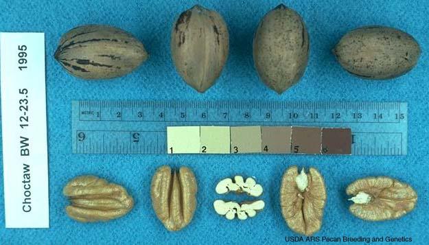 pacanier choctaw - pépinière du bosc