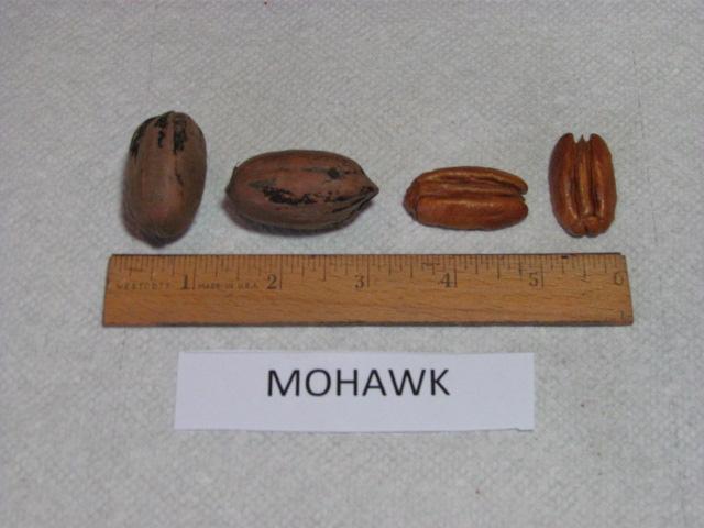 pacanier mohawk - pépinière du bosc
