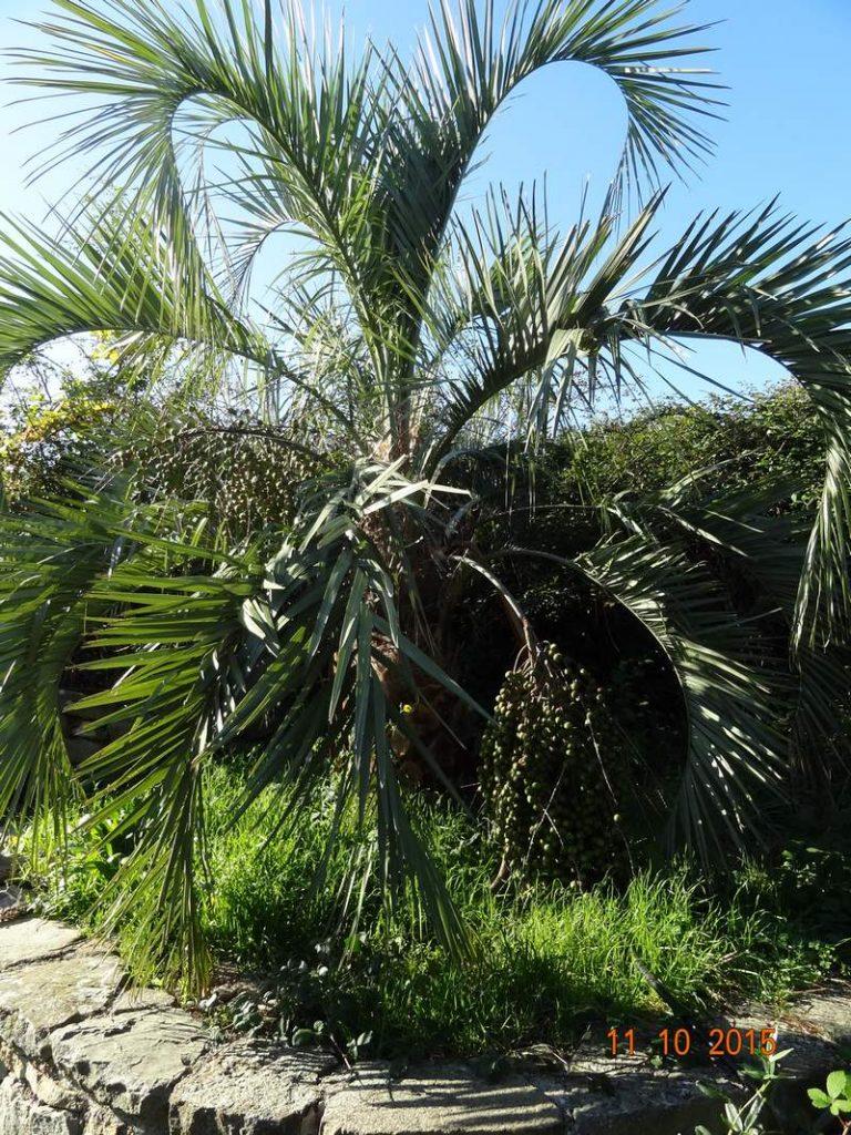 palmier rustique - butia capitata - pépinière du bosc 2