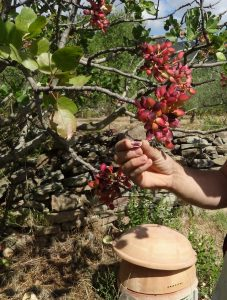 pistache-fruit-pistachier-pistaca-vera-pepiniere-du-bosc-2016-conservatoire-escoubilles