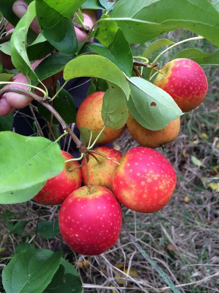 pomme GAVA - pépinière du bosc