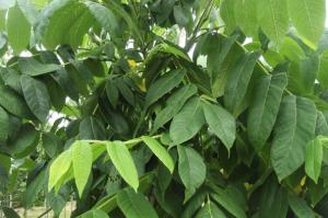 schubert - juglans ailantifolia - pépinière du bosc