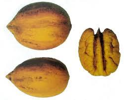 yates 127 - carya illinoensis - pépinière du bosc