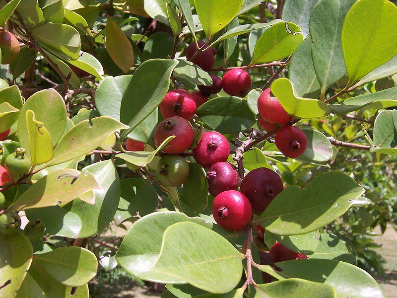 Goyavier fraise - Psidium Cattleianum - pépinière du bosc