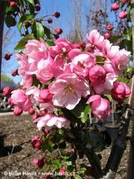 Malus van Eseltine fleurs - Pépinière du Bosc