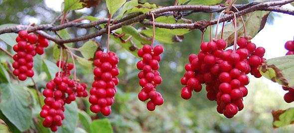 Schisandra-chinensis - pépinière du bosc