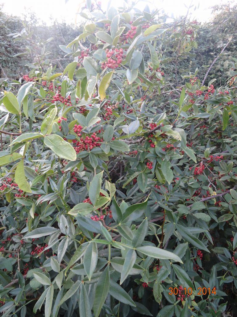 Zanthoxylum armatum - Poivre citron - pépinière du bosc - fin octobre 2014