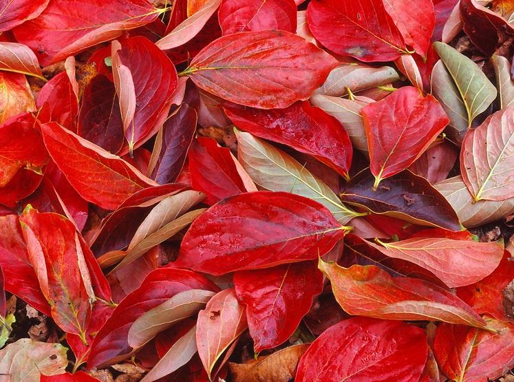 feuilles de kaki Costata (diospyros kaki costata)