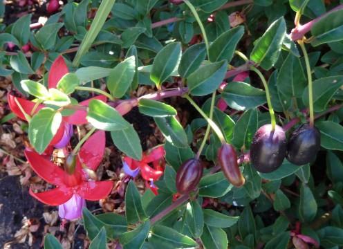 fuschia fruit - pépinière du bosc