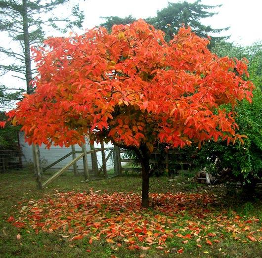 kaki à l'automne - plaqueminier - pépinière du bosc