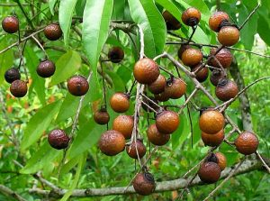sapindus-mukorossi-arbre-a-savon-arbre-fruit-pepiniere-du-bosc