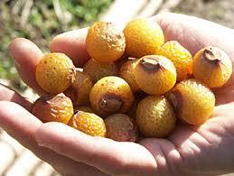 sapindus-mukorossi-arbre-a-savon-fruit-pepiniere-du-bosc