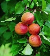 Abricotier p che de nancy la p pini re du bosc - Taille de l abricotier en video ...