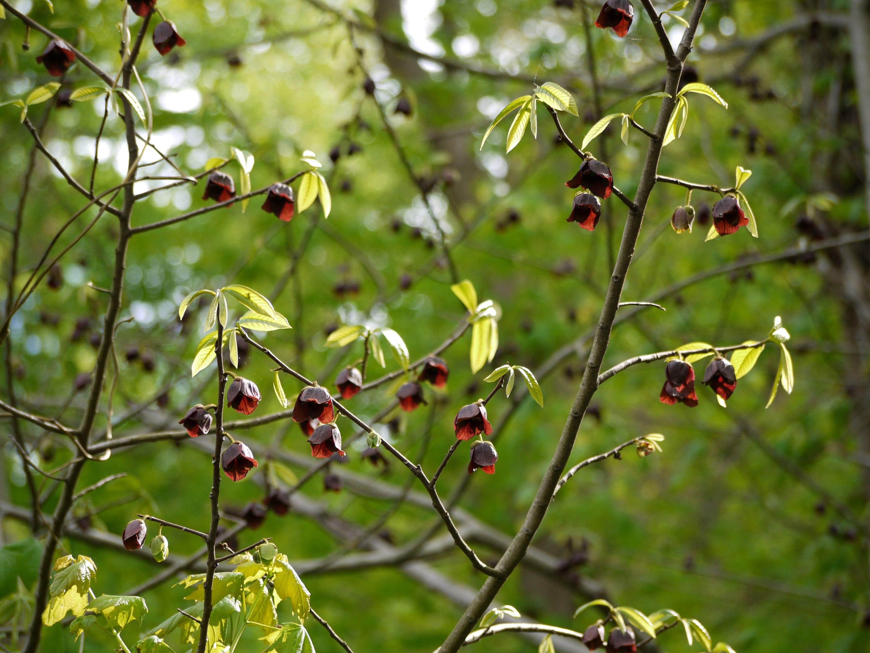 asiminier en fleurs - asiminier - asimina triloba - pépinière du bosc - acheter
