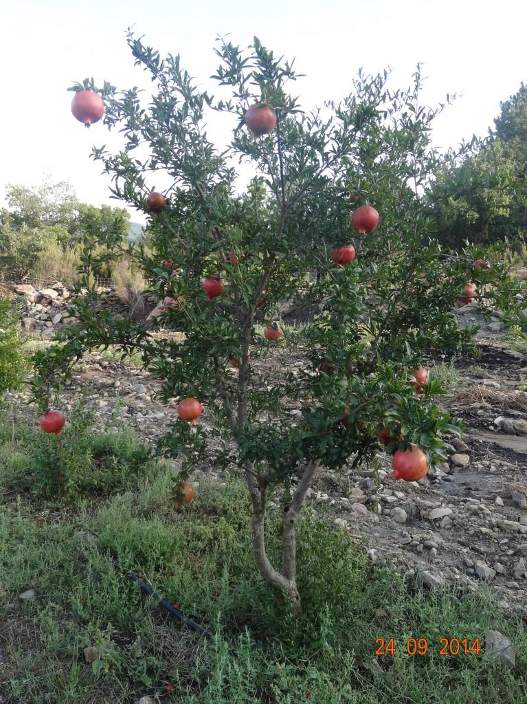 Grenadier (punica granatum) variété italienne familiale venant de mon arrière grand père - Jardins des Escoubilles - Septembre 2014