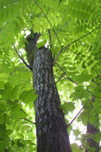 Juglans cinerea - pépinière du bosc