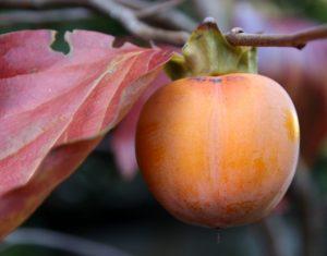 acheter kaki - plaqueminier - diospyros kaki - pépinière du bosc - acheter arbre plant variété farmacista sicilia