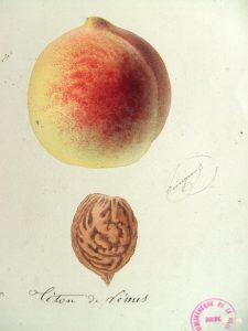 Téton de Vénus