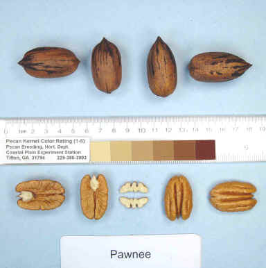 Pacanier Pawnee - carya illinoinensis acheter pacanier - noix de pécan - pépinière du bosc - variété acheter plant greffé