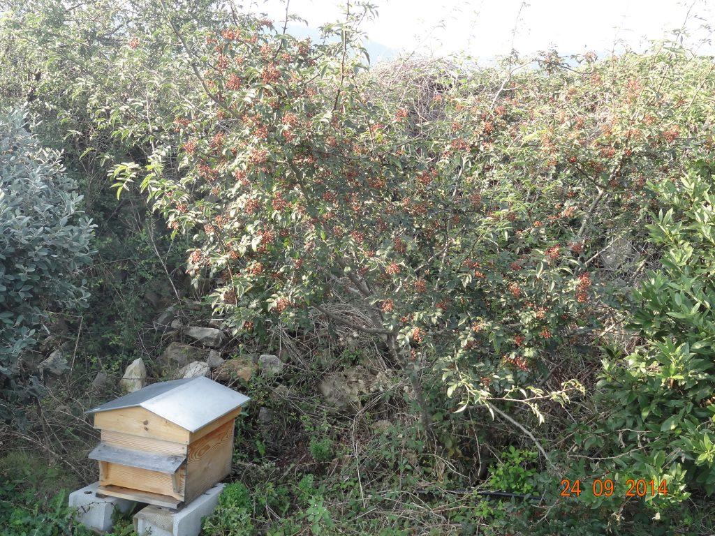 Poivrier de Sichuan (Zanthoxyllum Piperitum) Conservatoire des Escoubilles - Se^ptembre 2014