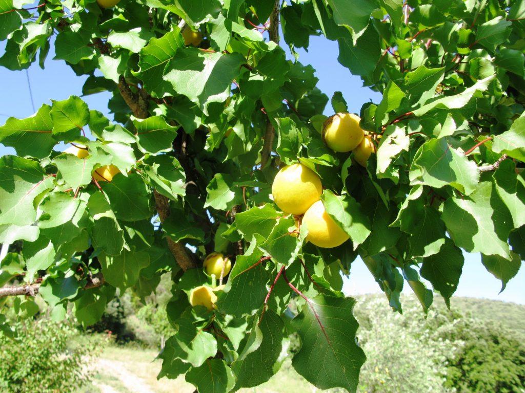 abricotier moniqui - pépinière du bosc