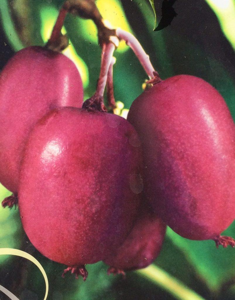 arguta purpurea - pépinière du bosc - kiwai - acheter