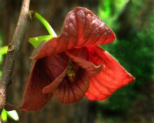 asiminier - asimina triloba - pépinière du bosc - acheter