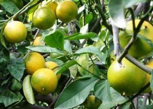 bergamotier-fantastico-citrus-bergamia-pepiniere-du-bosc