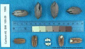 carlson 3 - Pacanier - carya illinoinensis acheter pacanier - noix de pécan - pépinière du bosc - variété acheter plant greffé