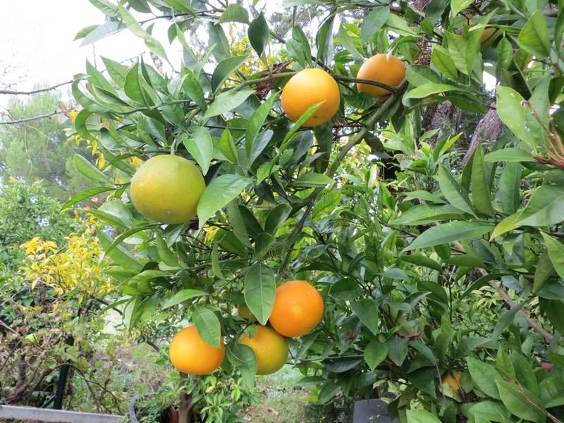 citrus sinensis caracara - oranger navel cara cara - pépinière du bosc .