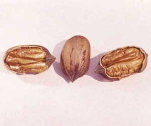 colby - Pacanier - carya illinoinensis acheter pacanier - noix de pécan - pépinière du bosc - variété acheter plant greffé